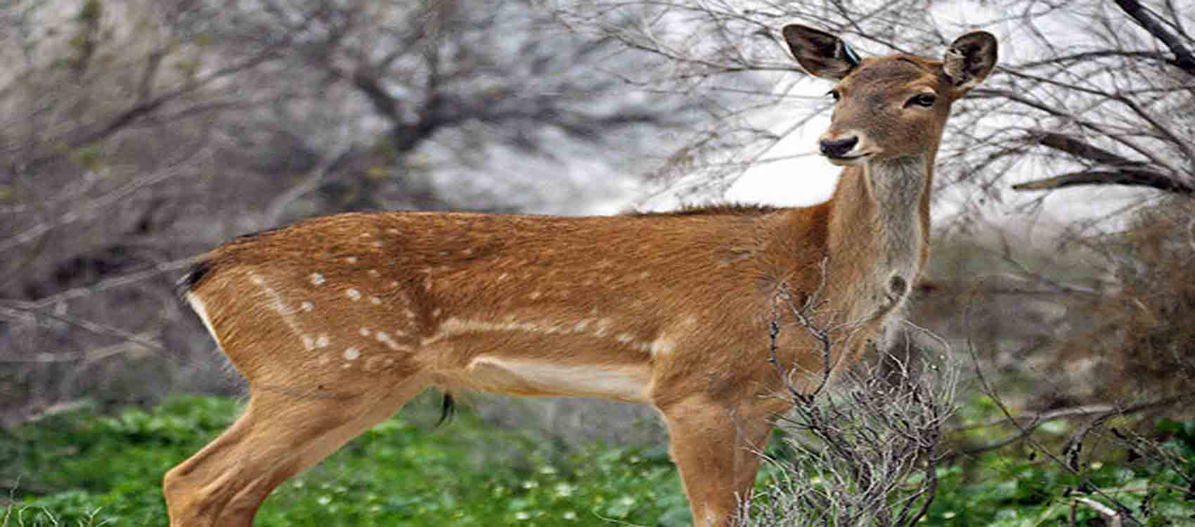 Persian fallow deer, Persian Deer,Fallow Deer,The Persian Fallow Deer,fallow deer of Persia, European deer